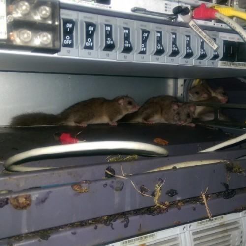 Lirones en el cuarto de telecomunicaciones